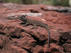 "Lizard in Zion NP • <a style=""font-size:0.8em;"" href=""http://www.flickr.com/photos/30765416@N06/11393102116/"" target=""_blank"">View on Flickr</a>"