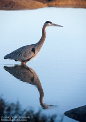 Great Blue Heron (Bob Stronck) Tags: greatblueheron avian ardeaherodias paloaltobaylands heronlikebirds stronckphotocom birdsofsanfranciscobay ©2013rmstronck