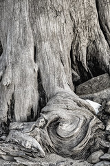 Weathered tree stump (The Knowles Gallery) Tags: winter blackandwhite snow tree nature stump weatherd