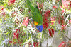 rainbow lorikeet 1 (Jim Bendon) Tags: rainbowlorikeet australianbirds northqueensland mountmolloy bendon 800mmf56