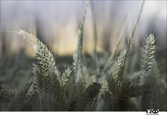 Summer (Monika Ostermann) Tags: summer deutschland europa sonnenuntergang sommer wheat jahreszeiten pflanzen august jahr esch georgsmarienhütte niedersachsen getreide weizen bundesland 2013 tageszeit klosteroesede