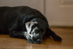 Daydreaming (Edward Arthur) Tags: dog pet labrador pentacon 135mm