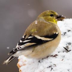 bird squared (jojoannabanana) Tags: winter snow bird animal goldfinch 3652014