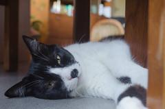 Mia 2 :-) (Matias Melo) Tags: white black blancoynegro argentina beautiful cat nikon gato hermoso d5100