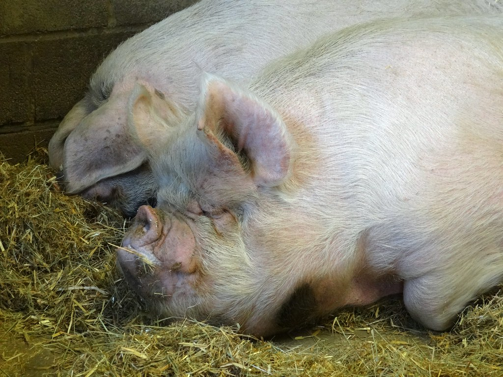 Sleeping farm animals