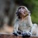 Macaca fascicularis - crab-eating macaque - Krabi  Thailand
