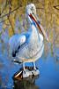 Pellicano  riccio (M4rc0969) Tags: africa parco bird birds animals fauna zoo asia europa famiglia natura uccelli animali beautyful escursioni bioparco faunistico minacciato zoomtorino mygearandme {flickrandroidapp}:{filter}=none