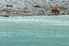 _MG_4411a (markbyzewski) Tags: alaska ugly brownbear grizzlybear glacierbaynationalpark
