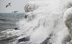 Trying to escape the winter (Infomastern) Tags: winter sea bird ice is vinter gull splash stersjn fgel ms smygehuk vawe