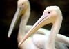 Pelican (floridapfe) Tags: animal zoo nikon korea everland