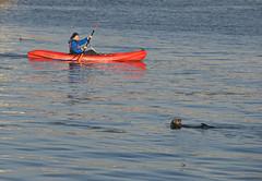 Relaxing Otter Ignores Curious Kayaker (john weiss) Tags: california kayak otter elkhornslough 18200vr d80 labn labcf 2013cali5916