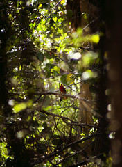 (MiamiRAW) Tags: red tree bird beach forest woods cardinal bushes