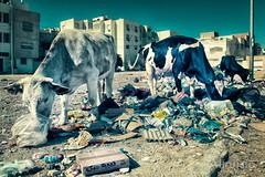 Atomic Cow (Altruisto) Tags: street cow tunisia streetphotography olympus dirt ville tunisie vache salet photoderue xz10