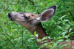 Sharing With Nature (VenturaMermaid) Tags: nature closeup canon eos outdoor availablelight wildlife naturallight deer foliage daytime muledeer animalplanet