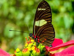 Butterflies (Jorge Hamilton) Tags: butterflies butterfly cerrado brasilia brasil brazil jorgehamilton brandao brandão flickr photo foto fotografia photography