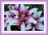 Exotic Lilies (bigbrowneyez) Tags: flowers ontario canada beautiful petals purple bokeh gorgeous ottawa blossoms exotic lilies fancy lovely fiori belli momsgarden giardino freckled mottled exoticlilies