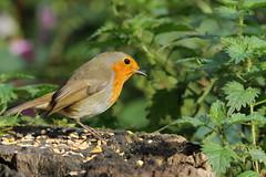 Robin (david.england18) Tags: robinredbreast robin birdsuk smallbirds various tits blue coal great queensparkheywood canon7d canonef300mmf4lisusm