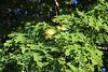 Albizia lebbek leaves and flowers (J. B. Friday) Tags: rota albizia albizialebbek fabaceae