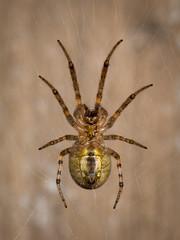 Female Zygiella sp. (Zachary Cava) Tags: orbweaverspider nocturnal orbweaver web ventral gold metallic zygiella spider arachnid iridescent invertebrate nature arthropod urbanecology araneidae macrodreams