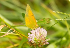 7K8A9908 (rpealit) Tags: scenery wildlife nature mahlon dickerson reservation snow bowl jefferson twp orange sulphur butterfly