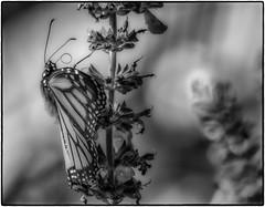 Monarch_SAF2869-7 (sara97) Tags: butterfly flyinginsect missouri monarch monarchbutterfly nature outdoors photobysaraannefinke pollinator saintlouis urbanpark danausplexippus insect copyright2016saraannefinke