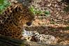 Amur Leopard 2