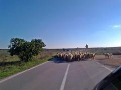 gregge3 (cristiano palese) Tags: gregge pecore
