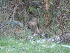 Sparrowhawk plucking a Woodpigeon at Westwood, Wigan Flashes (stevencarruthers93) Tags: greenheart wigan flashes