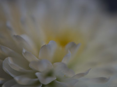 "Suavemente ""enmacrada"" (Luicabe) Tags: bokeh cabello crisantemo enazamorado flor interior luicabe luis macrofotorafia naturaleza planta suave yarat1 zamora ptalo"
