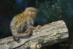 Ouistiti (réj@ubert) Tags: ouistiti zoo de beauval 41110 saintaignansurcher france sébastien meleux réjubertséb singe nikon d7100