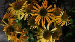 Coneflowers (Kazooze) Tags: flowers flower coneflowers coneflower echinacea nursery nature outdoor