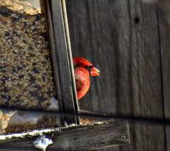 Cardinal 1 (~nevikk~) Tags: birds windowshot neighborsyard birdfeeder southwindowsnowbirdsetc11192016