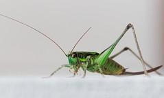 Mrs Bush-Cricket (Monviso View) Tags: tettigoniidae roeselsbushcricket metriopteraroeselii