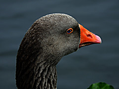 DSCN0164 Portrait of Geese (tsuping.liu) Tags: outdoor organicpatttern nature natureselegantshots naturesfinest blackbackground bright birds animal photoborder perspective