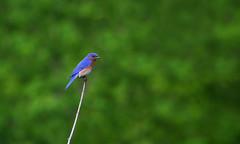 Bluebird (ashockenberry) Tags: