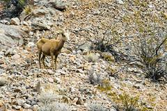 047-VOF160131_46575 (LDELD) Tags: nevada desert rugged dry harsh wild valleyoffire bighornsheep animal wildlife rocky