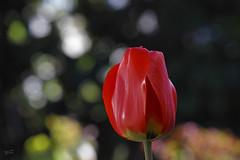 Tiempo de bulbos (Jess Emilio Monje) Tags: tulipn tulip bulbos red rojo flores flowers jardn