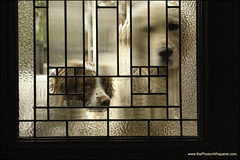 """42-52 """"can we come in now?"""" (Dave (www.thePhotonWhisperer.com)) Tags: 52weeksforeva 52weeksfordogs brittanyspaniel brittany goldenretriever golden door outside flutedglass littledoglaughedstories"""