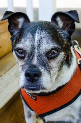 "Eddie (Kristin ""Shoe"" Shoemaker) Tags: dogs pug bostonterrier chihuahua eddie penny rescue glottis ninetitties"
