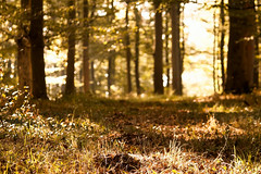 autumn lights (Nicola G. Fotografie) Tags: herbst wald sonne licht bokeh gold wlder bltter laub sptsommer wandern deutschland canon 55250 wood autumn forest leaf golden sun light trees walking nature germany countryside