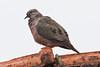 _W4A5160 Eared Dove (Zenaida auriculata) (ajmatthehiddenhouse) Tags: paraguay bird 2015 eareddove zenaida auriculata zenaidaauriculata