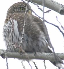 Northern Pygmy-Owl 2016-11-27 Kevin S Lucas (kevinslucas) Tags: kevinlucas marygiovanini nori northernpygmyowl dogwalk