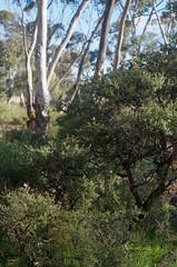 Thysanotus manglesianus on Melaleuca adnata, Candys Bush Reserve, Moora, WA, 23/08/16 (Russell Cumming) Tags: plant thysanotus thysanotusmanglesianus asparagaceae melaleuca melaleucaadnata myrtaceae candysbushreserve moora westernaustralia
