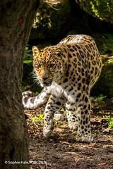 Amur Leopard Marwell (SLHPhotography1990) Tags: 2016 marwell zoo nikon oct sophs leopard akin