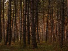 Thick pinewood (andraszambo) Tags: pine pinewood wood forest thick nature wald sűrű erdő fenyves fenyő fekete pinusnigra dokufilm