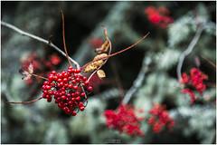 Berries (Jistfoties) Tags: dawyckgardens autumn scottishborders botanicgardens landscape canon5d canon24105f4