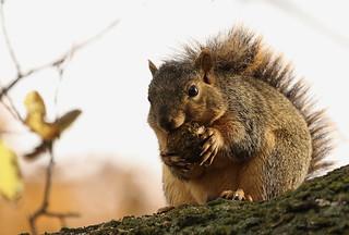 Squirrel, Morton Arboretum. 364 (EOS)