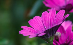 Purple and green (Steve-h) Tags: mygarden nature natural pretty flowers blossoms osteospermums daisies purple petals green bokeh dof dublin ireland europe europa autumn fall october 2016 digital exposure canon camera lens ef eos steveh