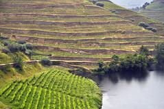 Valle del Douro - Quinta do Tedo (Celeste Messina) Tags: vino wine porto portogallo portugal vigna filari viti vite vineyard vine grapevine quinta cantina winery quintadotedo douro dourovalley valledeldouro vigneto