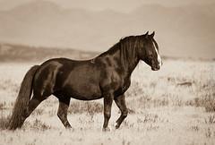 Wild horse (Jami Bollschweiler Photography) Tags: onaqui wild horse herd utah west desert great basin horses wildlife photography sepia